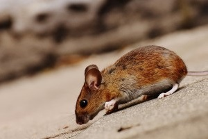 Mouse extermination, Pest Control in Teddington, Fulwell, TW11. Call Now 020 8166 9746